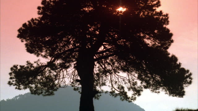 MEDIUM ANGLE OF A TREE WITH THE SUN SHINING FROM BEHIND. SEE PART OF SUN THROUGH BRANCHES. SEE BIRDS FLY OUT FROM UNDERNEATH BRANCHES. SEE MOUNTAIN IN BACKGROUND.