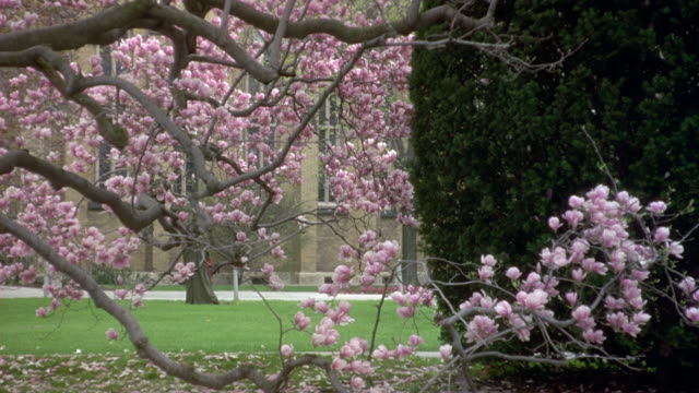 tracking shot of student walking from right to left on college campus of notre dame university. view obscured by tree with blossoms. - south bend indiana stock videos & royalty-free footage