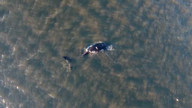 stockvideo's en b-roll-footage met //wwwnbcnewyorkcom/news/local/whalemorichesbayeuthanizednylongislandwaternyc402729596html - mileubeschermingorganisatie
