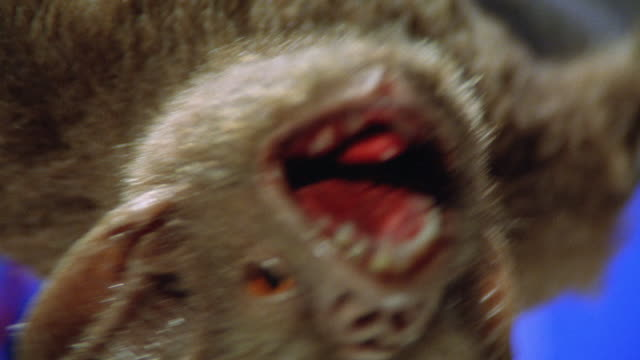 close angle of mechanical or robot bat's mouth with fangs. could be vampire bat. puppeteers arms visible. blue screen. animatronics. bats. - puppet stock videos & royalty-free footage