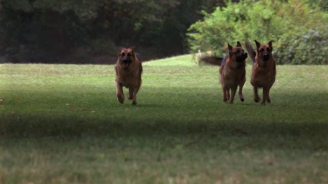 WIDE ANGLE OF PACK OF GERMAN SHEPHERD DOGS RUNNING THROUGH GRASSY PARK OR LARGE YARD TOWARDS CAMERA. MAN IN SAFARI OUTFIT SEEN IN BACKGROUND RAISING ARMS, COULD BE TRAINER. COULD BE GUARD DOGS CHASING INTRUDER ON GROUNDS OF LARGE ESTATE. ANIMALS.