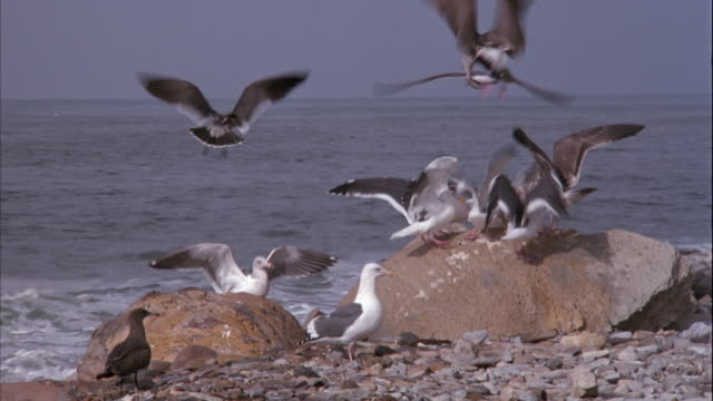 pan right to left of seagulls on rocks and shore with ocean in background. wave crashes on rock, splashes seagull, and bird flies away. - sea water bird stock videos & royalty-free footage