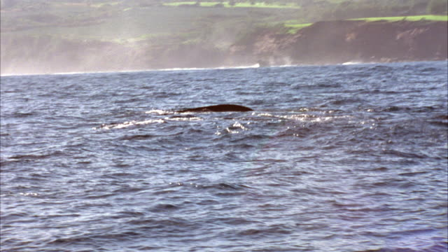 hand held from boat of group of whales swimming along ocean water's surface near hawaii coastline. see whale's back and dorsal fin. whales emerge then drop back in water as they swim right to left. - fin whale stock videos & royalty-free footage