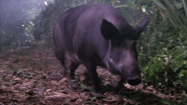 CLOSE ANGLE OF WILD BOAR RUNNING ON TRAIL IN RAINFOREST. SEE EMPTY OIL DRUM OR GARBAGE CAN AT END WITH WHITE WRITING ON IT.
