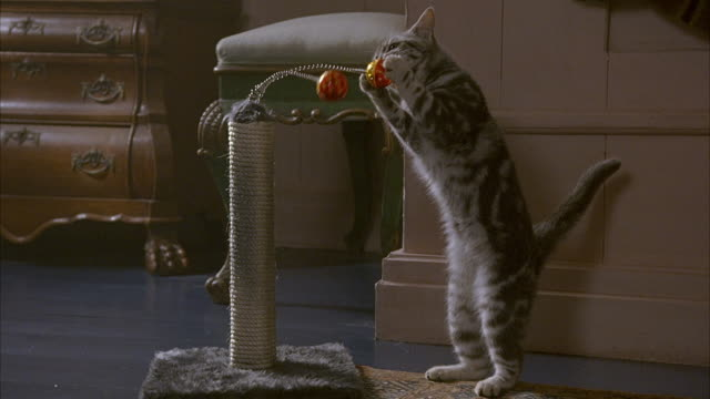 MEDIUM ANGLE OF GRAY TABBY CAT PLAYING WITH TOY. SEE CAT PAW AT AND LICK TWO ORANGE BALLS ON SPRINGS ATTACHED TO POST WRAPPED IN ROPE. SEE LEGS OF MAN WALKING PAST POV.