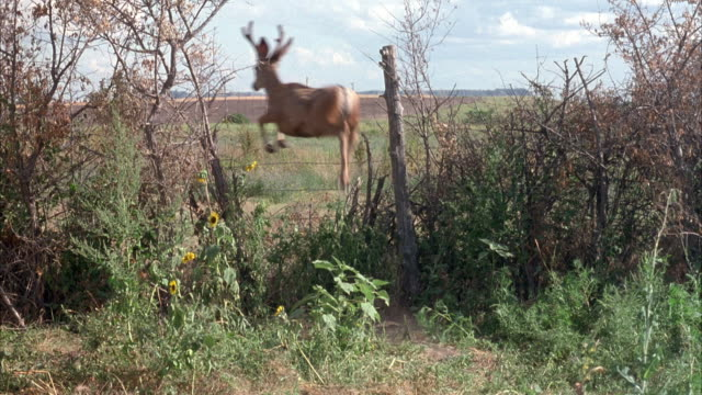 medium angle of field or farm area sectioned off with barbed wire fence. see deer enter and jump over fence and then walk around on other side. see weeds, wild grasses and trees. - deer stock videos & royalty-free footage