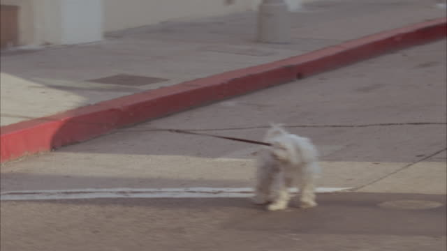MEDIUM ANGLE MOVING POV OF CITY STREET OR HOLLYWOOD BLVD. SEE WOMEN CROSSING STREET WHILE WALKING SMALL WHITE DOG ON LEASH. SEE CLOSE UP OF DOG.