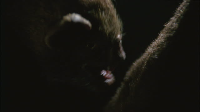 CLOSE ANGLE OF PUPPET OF VAMPIRE BAT WITH EXAGGERATED TEETH LICKING FURRY CARCASS OF DEAD ANIMAL WITH TONGUE. ANIMATRONICS.