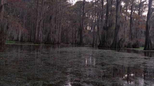 MEDIUM ANGLE ESTABLISHING SHOT OF RIVER, SWAMP OR MARSH. SEE GRAY TREES GROWING IN WATER IN BACKGROUND. SEE ALGAE OR OTHER AQUATIC PLANT GROWING OF FLOATING IN WATER IN FOREGROUND. SEE REFLECTION OF SKY AND TREES ON WATER.