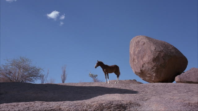 medium angle of brown horse and trainer standing on rocky cliff. see round boulders and desert shrubs in background. see trainer leave with large stick or pole. see horse or foal walk to left and stand near cliff's. - 巨礫点の映像素材/bロール