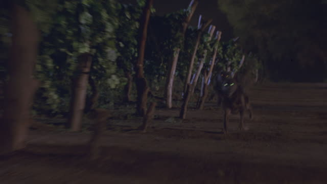 MEDIUM ANGLE OF TWO LARGE BLACK GERMAN SHEPHERDS RUNNING TOWARDS CAMERA. EYES OF DOGS GLOW. DOGS RUN PAST ROWS OF GRAPE PLANTS, GRAPEVINES OR TREE TRUNKS. COULD BE A VINEYARD. ATTACK DOGS. GUARD DOGS. COULD BE DUTCH SHEPHERDS.