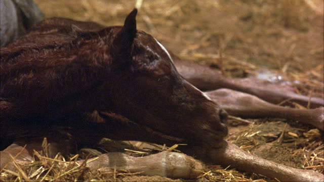MEDIUM ANGLE OF WHITE MARE HORSE RESTING AFTER GIVING BIRTH TO TAN FOAL IN STRAW COVERED BARN OR STABLE. SEE MARE LICKING NEWBORN FOAL. SEE FOAL RESTING AGAINST MARE'S STOMACH.