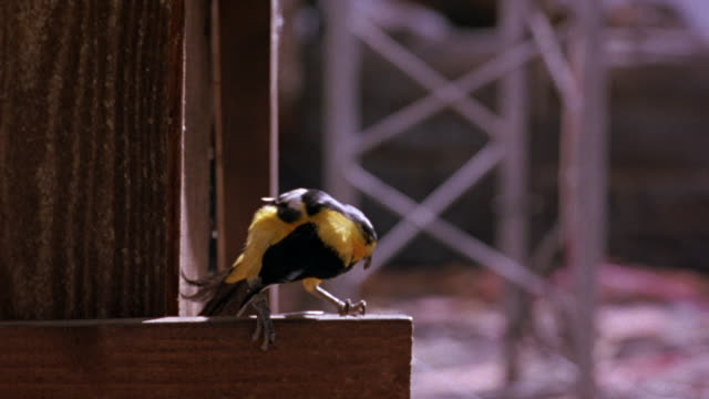 MEDIUM ANGLE OF YELLOW BIRD WITH BLACK HEAD AND TAIL AND WINGS WITH WHITE FEET. SEE BIRD STANDING ON WOOD RAILING. SEE VERTICAL WOOD BEAM BEHIND RAILING. SEE METAL STRUCTURE IN BACKGROUND.