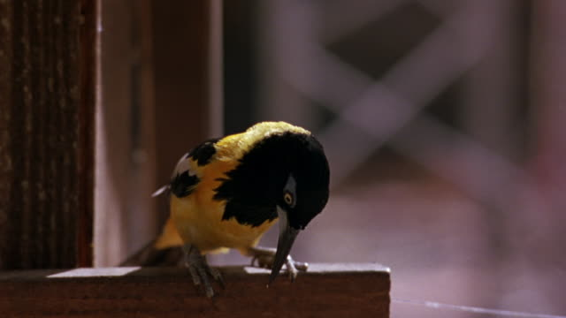 MEDIUM ANGLE OF YELLOW BIRD WITH BLACK HEAD AND TAIL AND WINGS WITH WHITE FEET. SEE BIRD STANDING ON WOOD RAILING. SEE VERTICAL WOOD BEAM BEHIND RAILING.