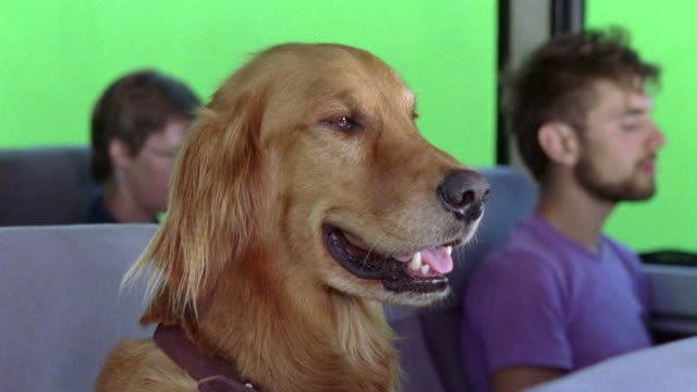 medium angle of golden retriever dog sitting in passenger seat of greyhound bus. green screen visible through windows. other passengers in bg. - retriever stock videos & royalty-free footage