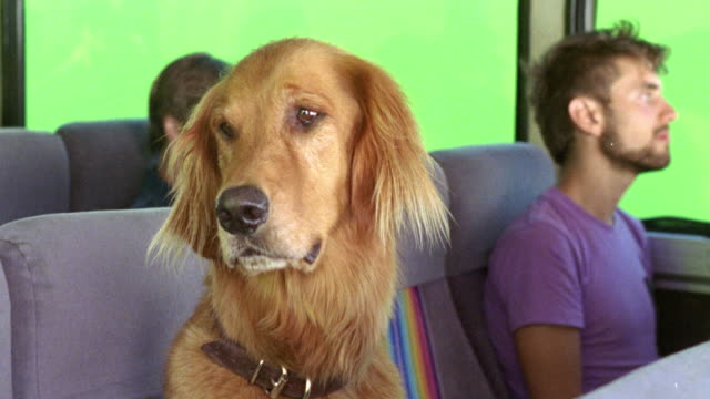 medium angle of golden retriever dog sitting in passenger seat of greyhound bus. green screen visible through windows. other passengers in bg. - passenger seat stock videos & royalty-free footage