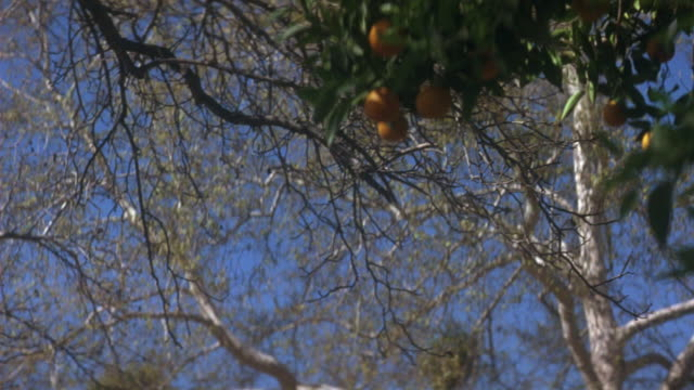 stockvideo's en b-roll-footage met up angle of green trees in orange grove. see oranges hanging from orange tree. see blue sky through bare branches of other trees. fruit. - bare tree