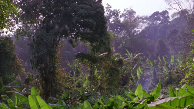 HAND HELD SHOWS JUNGLE OR TROPICAL RAINFOREST WITH TREES, VINES, BANANA PLANTS. WISP OF SMOKE RISES FROM FOREST FLOOR. COULD BE POV OF PERSON OR ANIMAL IN JUNGLE.
