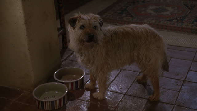 WIDE ANGLE OF TERRIER EATING OUT OF NEARLY EMPTY DOG BOWL. ANIMAL LOOKS UP TOWARDS UNSEEN PERSON AND BARKS AS IF BEGGING FOR MORE FOOD. APPEARS TO BE IN SPANISH STYLE HOUSE WITH RED TILE FLOORS.