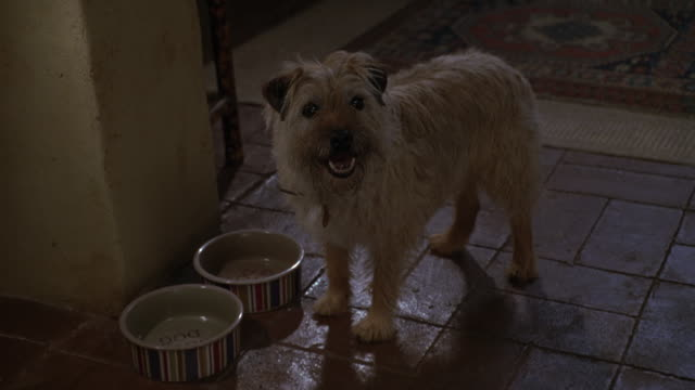 WIDE ANGLE OF TERRIER EATING OUT OF NEARLY EMPTY DOG BOWL. ANIMAL LOOKS UP TOWARDS UNSEEN PERSON AND BARKS AS IF BEGGING FOR FOOD. APPEARS TO BE IN SPANISH STYLE HOUSE WITH RED TILE FLOORS.