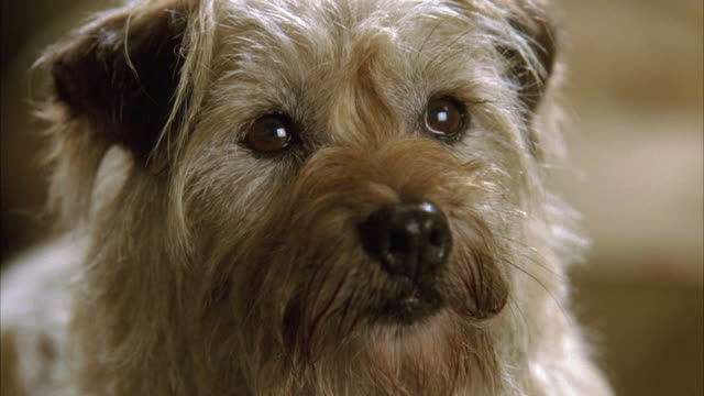 CLOSE ANGLE OF A SMALL BROWN DOG, MAYBE A BORDER TERRIER, LOOKING STRAIGHT AHEAD.