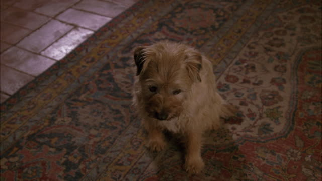 close angle of a small brown dog, maybe a border terrier, looking up while sitting on a red rug. - ラグ点の映像素材/bロール