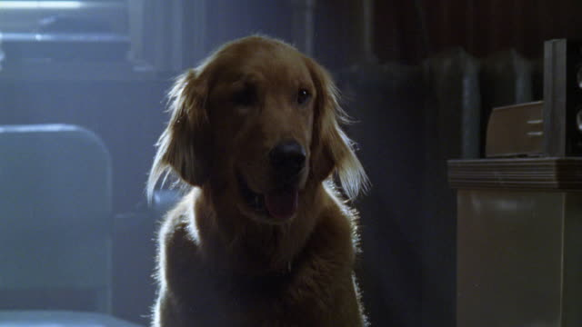 medium angle of golden retriever sitting in attic, bedroom, or living room. dogs. - golden retriever stock videos and b-roll footage