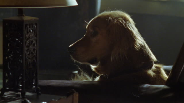 medium angle of golden retriever dog laying on leather couch or chair with head on armrest. - golden retriever stock videos and b-roll footage