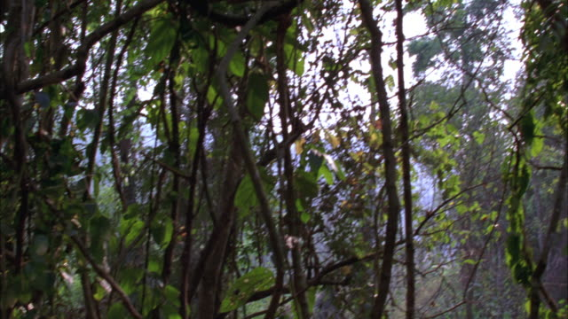 STEADICAM PANS AROUND TREES IN JUNGLE OR TROPICAL RAINFOREST AS SEEN FROM FOREST FLOOR. TREES HAVE VINES, MOSSY TRUNKS. COULD BE POV OF PERSON LOOKING AROUND FOREST.