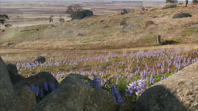 wide angle of grass prairie field covered in purple bluebonnet flowers and dry grass, a few rocks in the foreground. shrubs and trees in the distance. - prairie stock videos & royalty-free footage