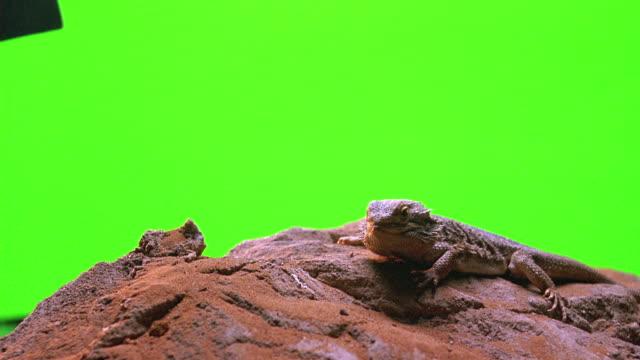 vídeos de stock, filmes e b-roll de close angle of iguana lizard sitting on desert rock in front of green screen set. - reptile