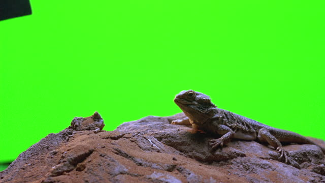 CLOSE ANGLE OF IGUANA LIZARD SITTING ON DESERT ROCK IN FRONT OF GREEN SCREEN SET.
