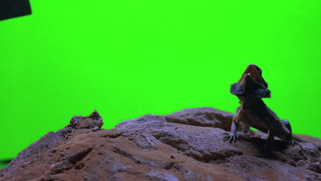 CLOSE ANGLE OF IGUANA LIZARD SITTING ON DESERT ROCK IN FRONT OF GREEN SCREEN SET. IGUANA'S MOUTH IS OPEN WITH FACE FLARED.