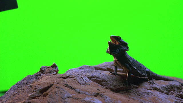 vídeos y material grabado en eventos de stock de close angle of iguana lizard sitting on desert rock in front of green screen set. iguana's mouth opens and closes. - iguana