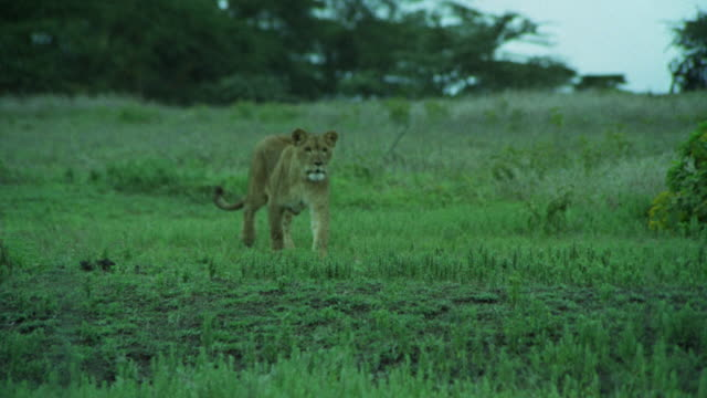 MS    ELEPHANT AND LIONESS     BEGINNING TO FIGHT    NEG CUT HUNT BABY LION IN AFRICA PLAINS