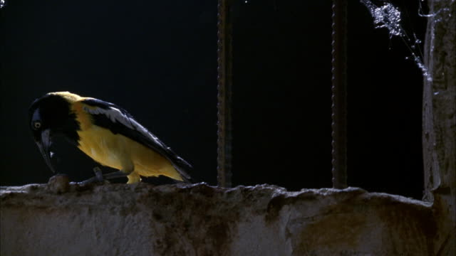 MEDIUM ANGLE OF PRISON CELL WINDOW. SEE SPIDER WEB AT TOP RIGHT CORNER AND MOONLIGHT STREAMING INTO CELL. SEE WHITE YELLOW AND BLACK BIRD WITH LONG SHARP BEAK EMERGE FROM BOTTOM OF WINDOW AND PERCH ON EDGE.