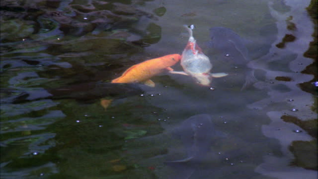 medium angle of giant koi carp in koi pond. large goldfish swim back and forth. - oahu stock videos and b-roll footage