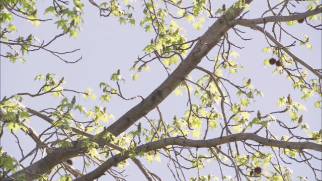close angle of tree branches, green maple leaves. - maple tree stock videos and b-roll footage