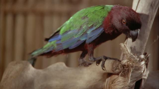 vidéos et rushes de close angle of red, blue and green parrot sitting on platform inside of hut. - cabane structure bâtie
