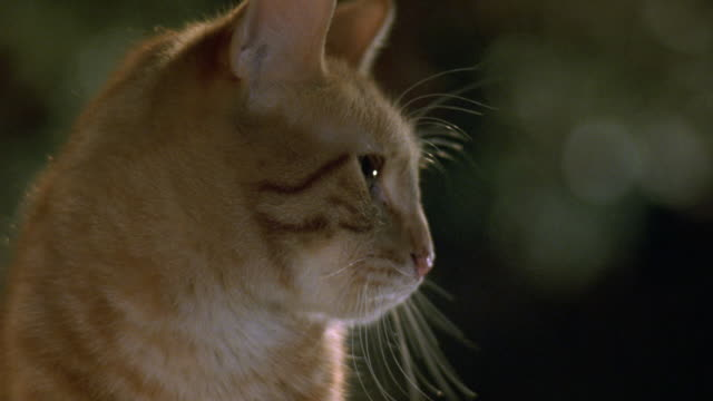 close angle of head of orange tabby cat with green eyes. see cat look in various directions. see cat lick lips and wag tail. - green eyes stock videos and b-roll footage