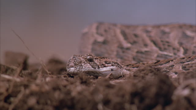 close angle of snake, could be rattlesnake, on top of pebbles and grass. see snake hiss and move around. handler stick pokes at snake. - viper stock videos & royalty-free footage