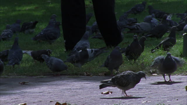 vídeos y material grabado en eventos de stock de close angle of a flock of pigeons in a park gathered around someone's legs. - parte del cuerpo animal