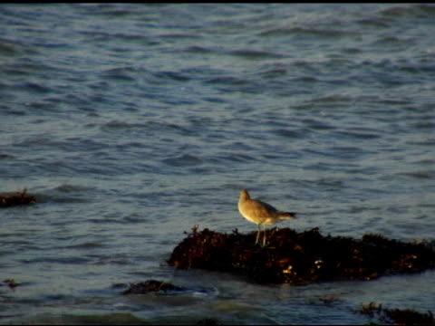 water fowl (lesser yellowlegs) (dv) - algae stock videos & royalty-free footage