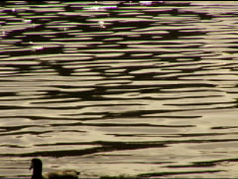 little ducky pair (dv) - pair stock videos & royalty-free footage