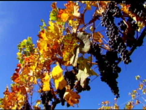 vídeos de stock e filmes b-roll de uvas coloridas (dv - videira