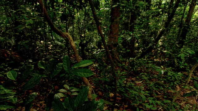WIDE ANGLE OF SPORADIC MUZZLE FLASHES WITHIN A JUNGLE OR FOREST. THICK GREEN TREES AND FOLIAGE.