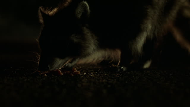 CLOSE ANGLE OF RACCOON EATING SOMETHING IN MIDDLE OF ROAD AS CAR'S HEADLIGHTS SHINE ON ANIMAL FROM UP HIGHWAY. COULD BE FUTURE ROAD KILL. ANIMAL STUNTS.