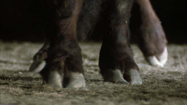 CLOSE ANGLE SLOW MOTION OF LEGS AND HOOVES OF FOUR LEGGED FARM ANIMAL, POSSIBLY LLAMA OR SIMILAR ANIMAL. LEGS HAVE LONG DARK HAIR.
