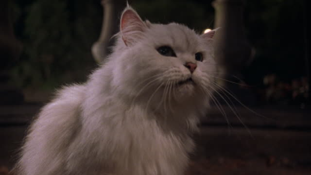 medium angle of white persian cat with green eyes. see hand with puppet harass cat. see cat claw, scratch, paw at, hiss, and show teeth at hand. see hand without puppet harass and pet cat. see balustrade in background. action. - puppet stock videos and b-roll footage