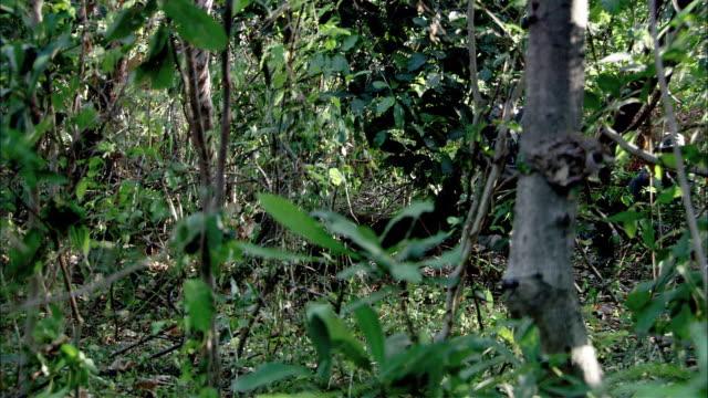 hand held of dense jungle brush. gunmen in head scarves, ski masks hiding behind pile of fallen trees, shooting guns. - hiding stock videos and b-roll footage